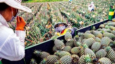 台灣菠蘿有蟲 香蕉殺菌劑超標