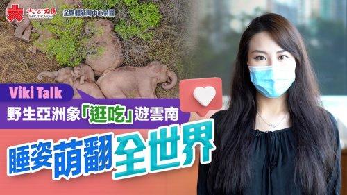 Viki Talk | 野生亞洲象「逛吃」遊雲南 睡姿萌翻全世界
