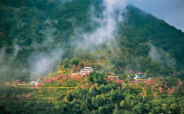冬日碧綠茶園粉櫻朵朵 浪漫了 「天龍八部」 無量山